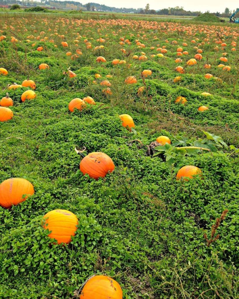 pumpkin patch copy